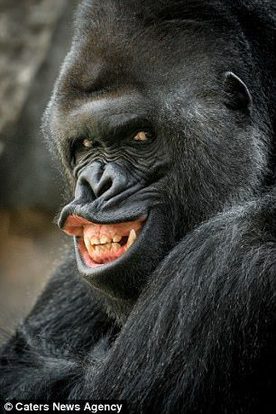 Striking a pose: Gorgeous gorilla Richard is a hit at his zoo in Prague and appears to like nothing more than posing for the camera