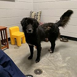 Henderson Nc Border Collie Meet Leo A Pet For Adoption With Images Pet Adoption Adoption Border Collie