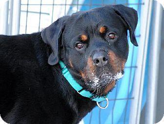 Fargo Nd Rottweiler Meet Wentz A Dog For Adoption Http Www