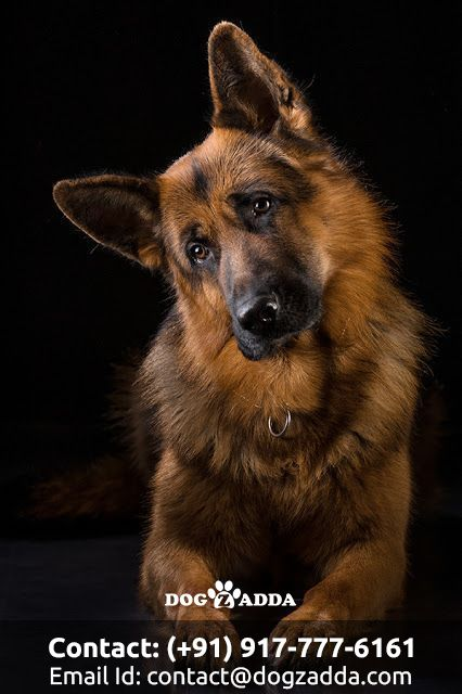 In Order To Own A German Shepherd You Must Be Smarter Than A