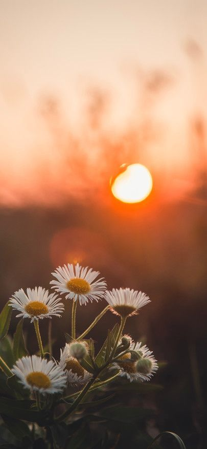 Daisy Spends A Sun Of Floret Wild Flower Wallpapers For Iphone X Iphone Xs And 4k Wallpaper Nature Flowers Flower Iphone Wallpaper Pretty Wallpapers Tumblr Cool sunflower wallpaper for iphone xs