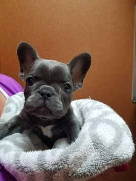 French Bulldog Puppy For Sale In Houston Tx Adn 69945 On