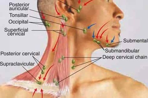 Location of lymph nodes on face and neck good to know for those location of lymph nodes on face and neck good to know for those times when bub gets a lump is it just a swollen gland ccuart Choice Image