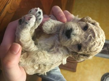 Litter Of 7 Poodle Miniature Puppies For Sale In Battle Ground