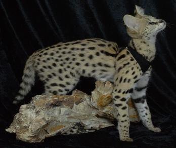 F4 Savannahs F4 Savannah Cats F4 Savannah Kittens Savannah