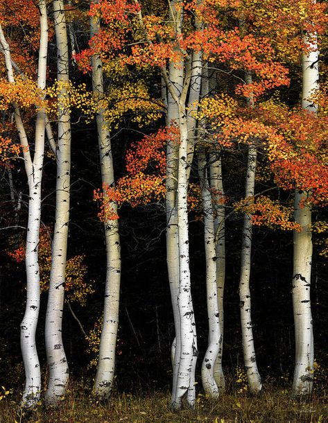 Beautiful Places, Beautiful Pictures, Aspen Trees, Birch Trees, Birch Bark, Tree Forest, Forest Scenery, Birch Forest, Nature Tree