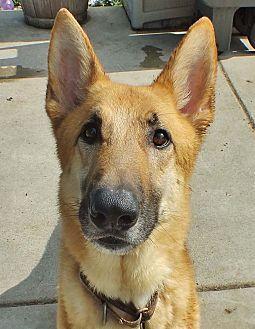 Minneapolis Mn German Shepherd Dog Mix Meet Blitz A Dog For