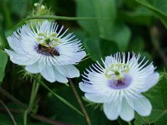 Abelha Na Flor De Maracuja Bee And White Flowers Passion Flower Love Flowers White Flowers