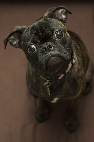 a Bugg (cross between a Pug  Boston Terrier) - every one looks different