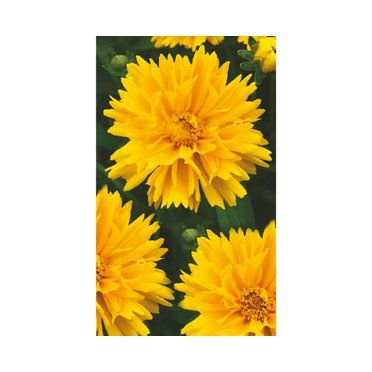Madchenauge Sunray 11 Cm Topf Stauden Blumenbeet Toom Baumarkt