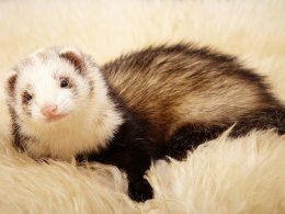 Checking Your Ferret Over And Identifying Good Health Ferret Cute Ferrets Baby Ferrets