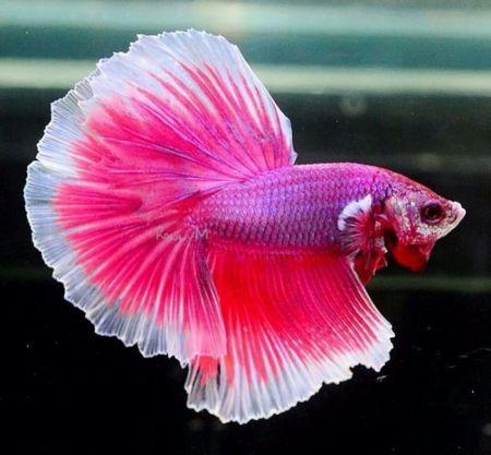 Pink Beta Fish Wallpaper Id 2337650 Desktop Nexus Animals Betta Fish Types Beta Fish Betta Fish Betta fish wallpaper desktop betta