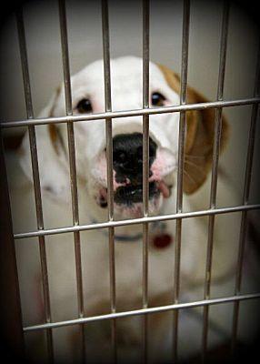 Johnstown Pa Great Dane Meet Eli A Dog For Adoption Dog
