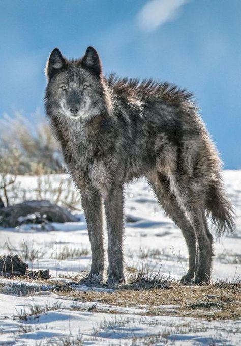 "funkysafari: ""A lone member of the Phantom Springs wolf pack stands tall in…"