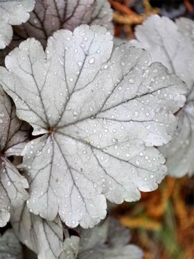"""Heuchera Stainless Steel.  Zone 4 perennial, 10"""" plant, half sun to full shade-- more shade = more silver color.  Flowers white."""