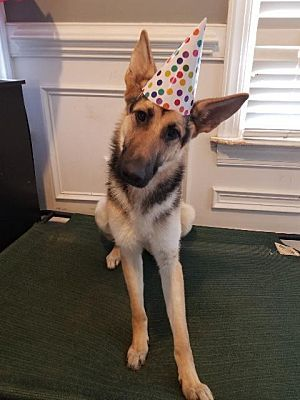 Raleigh Nc German Shepherd Dog Meet Ember A Pet For Adoption