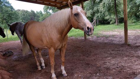 Pouvez-vous aider ces chevaux en Caroline du Nord? - #aider #caroline #chevaux #pouvez -     Aimez-vous les chevaux? Je fais, et Victoria Rogelin aussi. Cependant, à son grand chagrin, elle n'est plus en mesure de garder ses trois chevaux à besoins spéciaux, qu'elle a sauvés et qu'elle soigne et aime plus longtemps. Elle a reçu de l'aide pour l'une d'entre elles, mais tente de trouver une nouvelle maison pour les deux autres. La première est Mojo, qu'elle décrit comme «un grand et beau quarter