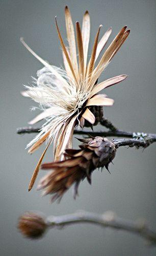 ** Seed Head by WombatTree - Gary Tree