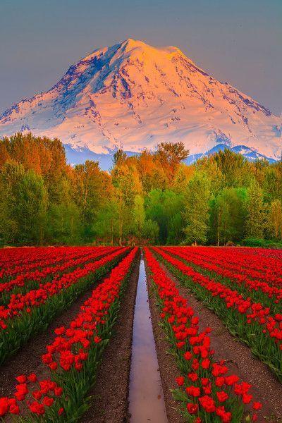 Tulip fields on Mt Rainier, Washington
