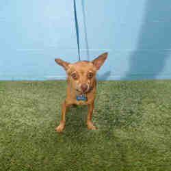 Orlando Florida Chihuahua Meet Brownie A For Adoption Https Www Adoptapet Com Pet 27586540 Orlando Florida Chihu In 2020 Pet Adoption Dog Adoption Cute Animals