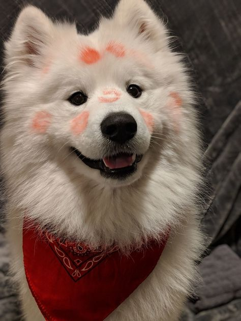28Photos ofSamoyeds That Left aPaw Print onOur Hearts