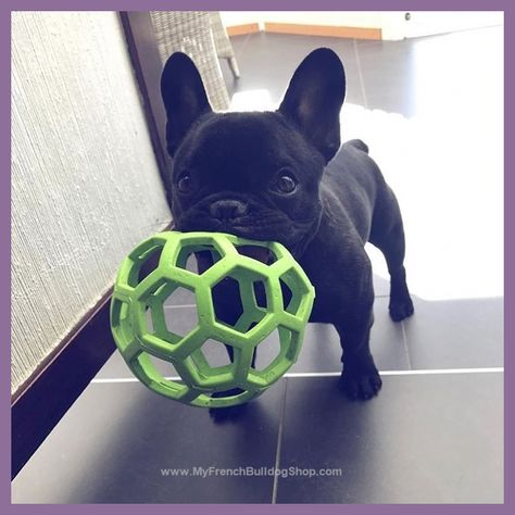 10 THINGS YOU DIDN'T KNOW ABOUT THE BLUE FRENCH BULLDOG | Blue French Bulldog Puppy | Blue Fr...