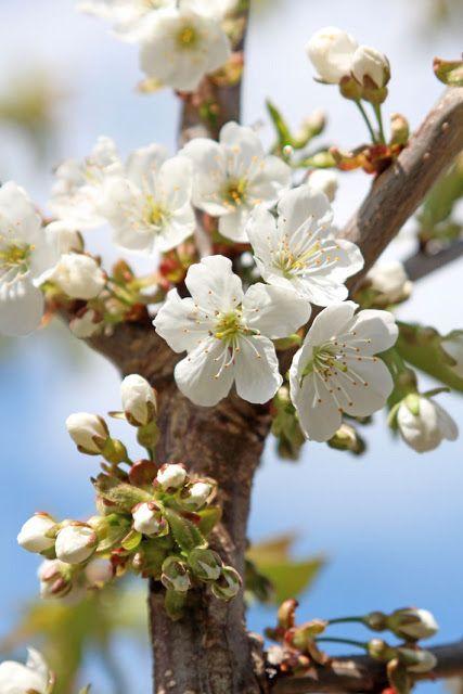 Amalie Loves Denmark Kirschblute Cherry Blossom Garden Cherry