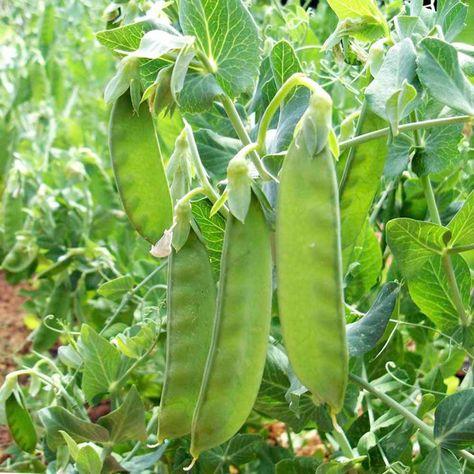Pea Mangetout Sowed Late April Harvest Late June Sutton Seeds Planting Vegetables Garden Seeds