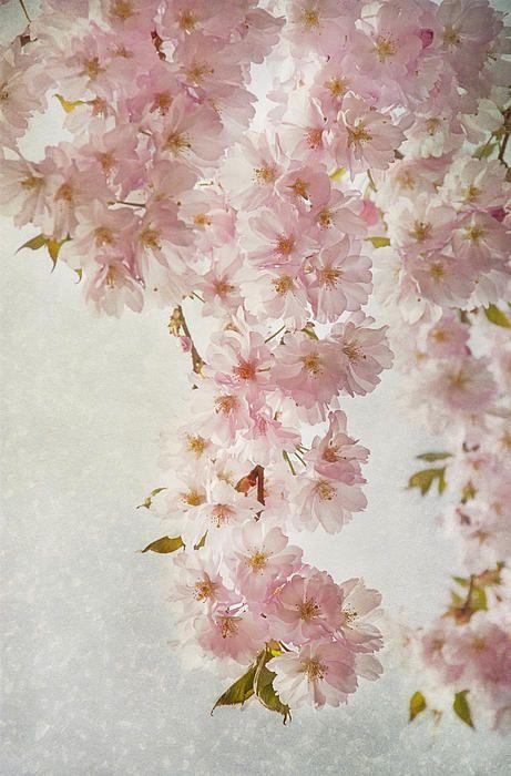 Hanami Ii By Claudia Moeckel Hanami Japanese Cherry Tree Fine Art America