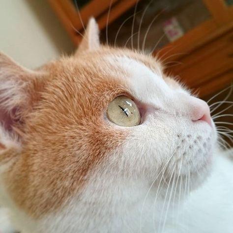 prettygirl #scottishfold #scottishfoldcat...