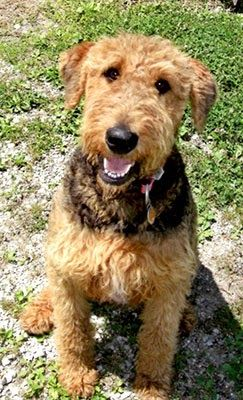 Crestview Kennels Airedale Terries And Welsh Terriers Droffats Puppies For Sale Bajanaire Kennels A Airedale Puppies For Sale Airedale Puppy Puppies For Sale