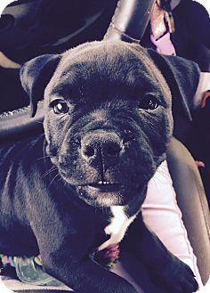 La Quinta Ca English Bulldog Boston Terrier Mix Meet Apple A