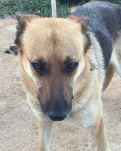 Beautiful Gsd Looking For A Good Forever Home Would You Liek To Be Her Best Friend Please Contact Www Pro Ca Tierschutz Hunde Hund Adoptieren Hunde