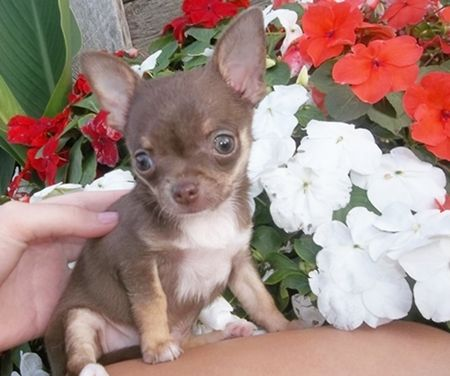 My Chocolate And Tan Chihuahua Puppy From A Past Litter