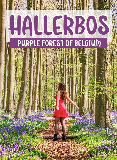 Hallerbos, the purple forest of Belgium