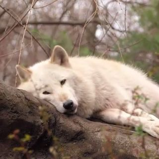 🐺Lazy wolf doing an awoo.