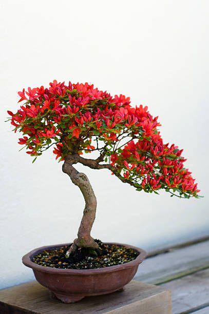 Bonsai Tree Bonsai Tree Types Bonsai Tree Indoor Bonsai Tree