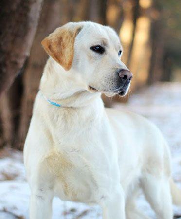 Yellow Labrador Fresca With Images Labrador Retriever Labrador Labrador Breed
