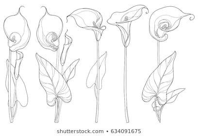 Vector Set With Calla Lily Flower Or Zantedeschia Bud And Leaves In Black Isolated On White Background Lilies Drawing Flower Line Drawings Calla Lily Tattoos
