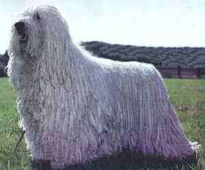 The Komondor Is A Large White Colored Hungarian Breed Of Livestock Guardian Dog With A Long Corded Coat Komondor Dog Dog Breeds
