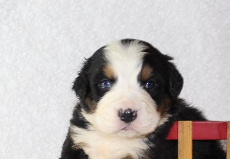 Bennie An Akc Bernese Mountain Dog For Sale In Harlan Indiana