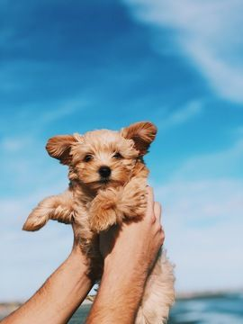 Yorkie Poo Puppy For Sale In North Charleston Sc Adn 56430 On