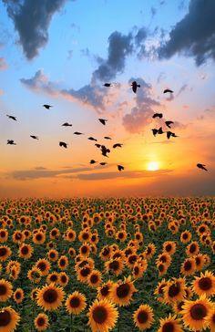 Sunflower #sunrise