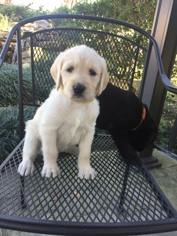 Litter Of 7 Labradoodle Puppies For Sale In Jacksonville Fl Adn