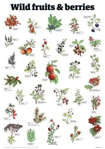 Wild fruits & berries by Guardian Wallchart