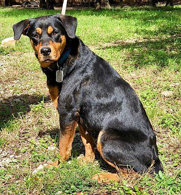 Darien Il Rottweiler Meet Matilda A Pet For Adoption Pet