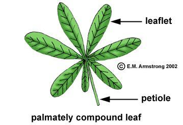 Leaf Terminology Part 1 In 2021 Leaves Leaflet Leaf Shapes