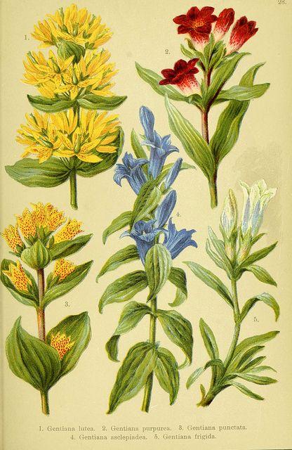 Walnut Vintage Botanical Floral Illustration Art Poster 24x36