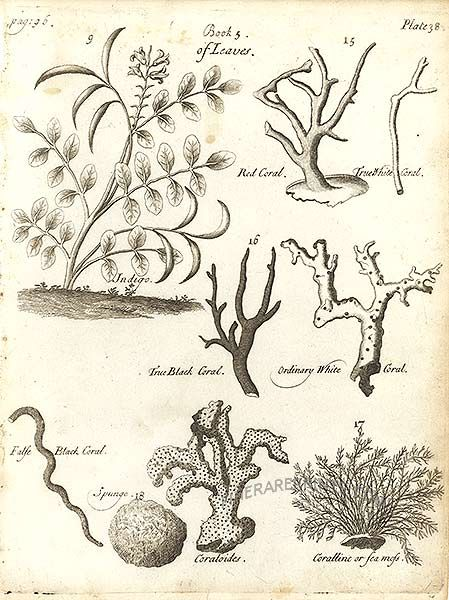 Genuine antique print of Indigo, Black Coral, True White Coral, True Black Coral from The History of Drugs By Pomet.