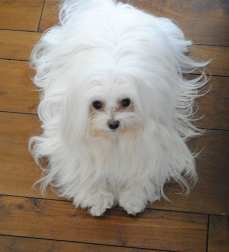 Maltese Dog Breed Facts Information The Dog People By Rover Com Maltese Dogs Maltese Breed Maltese Puppy